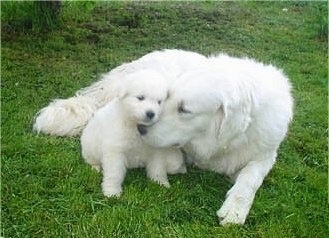 Kuvasz Dog Puppies