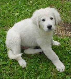A small white Kuvasz puppy is sitting in grass and looking up