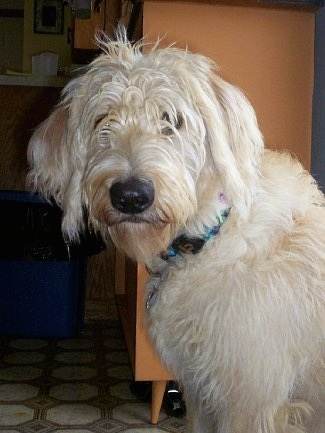 The upper half of a soft looking, long coated tan Labradoodle dog standing in front of a dresser and its head is turned to the left