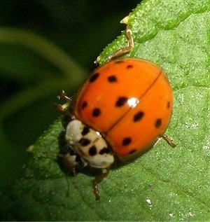 Close Up - Ladybug on a leaf