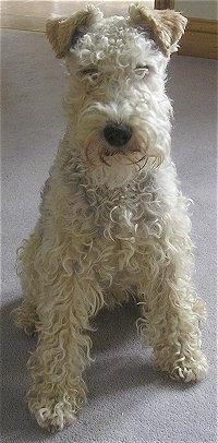 Lakeland Terrier Dog Breed Information And Pictures