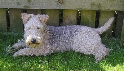 A wavy-coated tan and black Lakeland Terrier is laying in grass in front of a wooden fence.