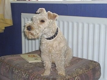 A wavy-coated tan Lakeland Terrier is sitting on an ottoman and looking to the left. There is a tan hardback book next to it.