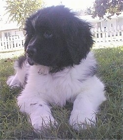 View from the front - A small black and white Landseer puppy is laying in grass and looking to the left. There is a white picket fence and a white house in the distance.