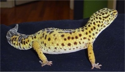 Right Profile - A leopard gecko is standing on a blue couch and it is looking up and to the right. It is yellow with black dots on it.