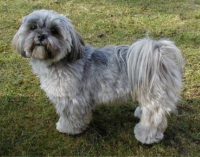 apso lhasa dog. Lhasa Apso Information and