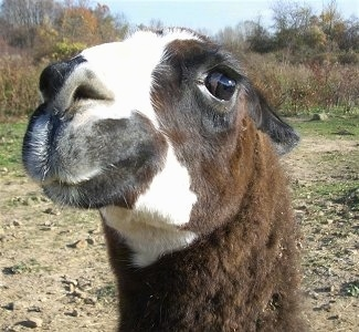 Llama, Llamas, Farm, Farms