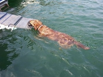 Sadie the Louisiana Catahoula Leopard Dog is swimming towards a ramp of a houseboat