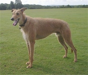 A tall brown dog standing out in a field of grass with its mounth open and tongue hanging out