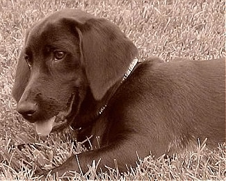 Side view upper body shot - A sepia toned image of a Labrador/Basset Hound/Beagle mix laying outside in grass and it has its mouth open and tongue out.
