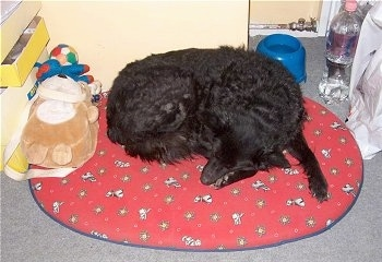 A black Mudi is sleeping curled up on its red dog bed. There is a teddy bear toy next to it.