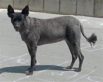 Side view - A shaved grey Mudi is standing in a parking lot on top of a hopscotch chalked area.