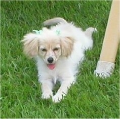 A fluffy white with tan Malchi puppy is laying out in a lawn next to a pole. Its mouth is open and tongue is out.
