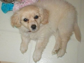 A fluffy little tan with white Malchi puppy is laying on a white tiled floor and looking up.