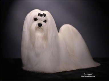 A well-groomed, longhaired white Maltese standing under a single light with a ribbon of leaves on its forehead.