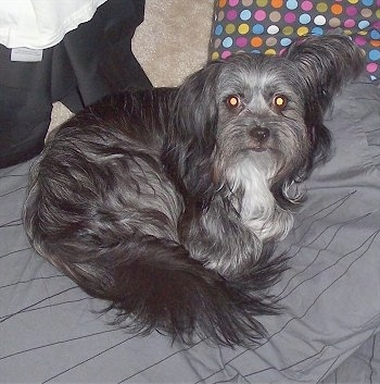 A longhaired black and grey with white Malti-poo dog is laying curled in a ball on a grey bed with a polkadot pillow behind it.