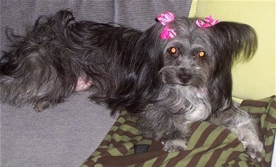 A longhaired, black and grey with white Malti-poo dog is laying on a couch with pink and white ribbons on its ears.