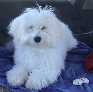 Bengi, the Maltichon (Maltese/Bichon Frise mix) at 9 months old