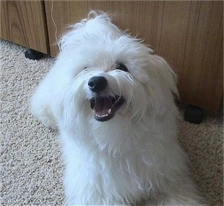View from the front - A longhaired white Maltichon dog is laying on a tan carpet in front of a wooden cabinet and looking up with its mouth open looking happy.