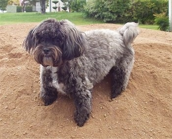 A fluffy grey with white Malti-poo is standing on a mound of dirt.