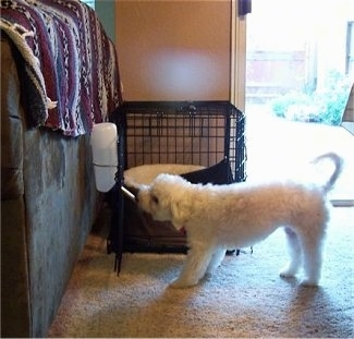 A white Malti-poo is drinking out of a water bottle that is attached to the door of its dog crate next to a brown couch that has a maroon, white and black blanket over the side. It is inside of a living room and there is an open door with the sun shining in next to it. The dog's tail is up.