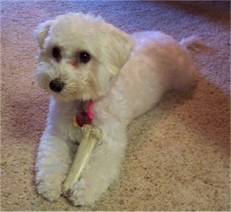 A white Malti-poo is laying on a tan carpet and chewing on a Nylabone.