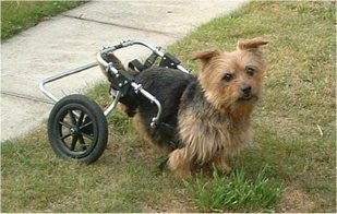 Clarence the Norfolk Terrier with no hind legs connected to a dog wheelchair
