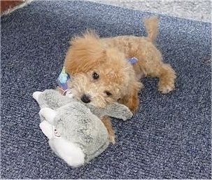 A tan Miniature Poodle is laying on a blue carpet chewing on a grey plush toy. It is wearing a blue bandana.