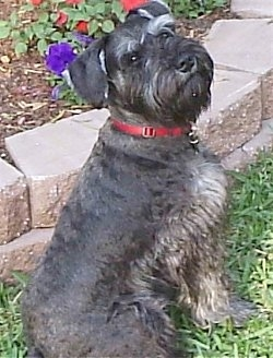 View from the back of a dog looking back  - A black with gray Miniature Schnauzer is wearing a red collar sitting in grass and there is a flower bed next to it.