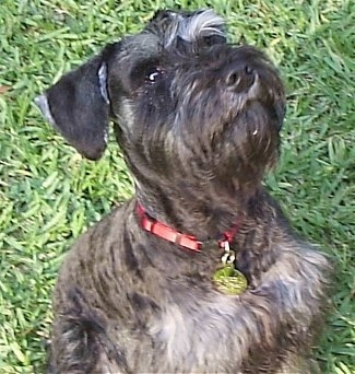 Close up upper body shot - A black with gray Miniature Schnauzer is sitting in grass and looking up.