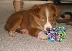 Penni, the Miniature Australian Shepherd at seven weeks