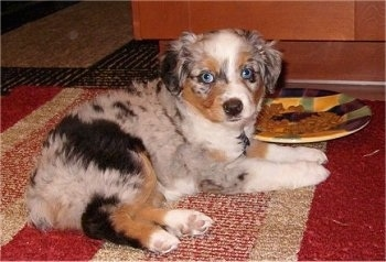 A merle grey with black, tan and white Miniature Australian Shepherd puppy is laying on a rug with a plate of food next to it.