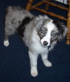 A blue-eyed, merle grey with black and white Miniature Australian Shepherd puppy is standing on a royal-blue carpet with a wooden chair behind it.