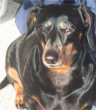 Close Up - A black and brown Miniature Smooth Coat Dachshund is sitting in the sun inside of a home.