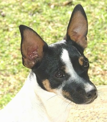 Close up head shot - A perk-eared tricolor white with black and tan Miniature Fox Terrier with its head tilted slightly to the left.