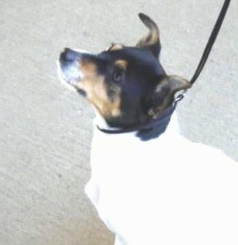 Side view upper body shot - A tricolor white with black and tan Miniature Fox Terrier is sitting on a sidewalk and it is looking up.