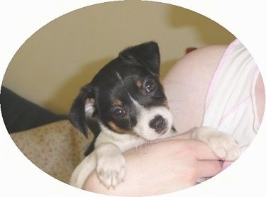 Front head and paw shot - A tricolor black, tan and white Miniature Fox Terrier puppy has its head tilted to the left in the arms of a person.