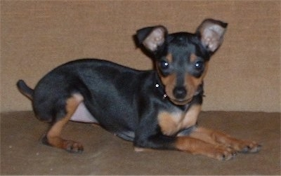 Side view - A Miniature Pinscher puppy is laying on a tan carpet and looking to the right of its body.