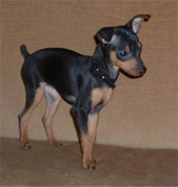A black and tan Miniature Pinscher puppy is standing on a couch looking forward.