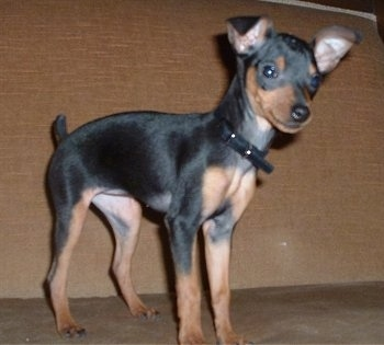 Side view - A black and tan Miniature Pinscher puppy is standing on a tan carpet in front of a brown couch looking down.