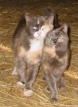 Two Miniature Cats are rubbing against each other and walking across hay in a barn