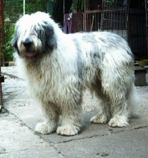 Side view - A long-coated, shaggy, white with black Mioritic Sheepdog is standing on a cement patio and it is looking to the left. Its mouth is open and tongue is out.