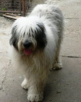 View from the top looking down - A panting, long-coated, shaggy-looking, white with black Mioritic Sheepdog is standing on a sidewalk. Its hair is covering its eyes.