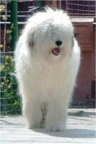 View from the front - A long-coated, fluffy white Mioritic Sheepdog is walking down a sidewalk. Its mouth is open and tongue is out.