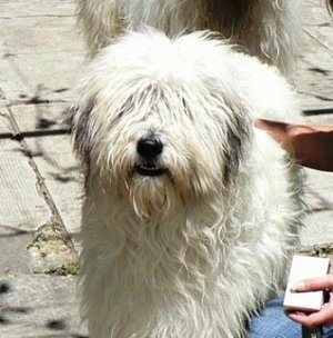Close up upper body shot - A white Mioritic Sheepdog is standing on a sidewalk and there is a person next to it rubbing its back. There is another dog behind it.