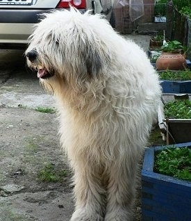 A shaggy, white Mioritic Sheepdog is standing in a driveway next to a flower bed. Its mouth is open, tongue is out and it is looking to the left.