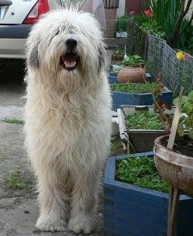 A shaggy, white Mioritic Sheepdog is standing in a driveway next to a flower bed. Its mouth is open and tongue is out. It is looking up. There is a vehicle in the background.
