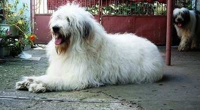 Side view - A large-breed, shaggy-coated white with gray Mioritic Sheepdog is laying inside of a yard. Its mouth is open and tongue is out. There is another black and white Mioritic Sheepdog walking up from the background and its mouth is open and tongue is out.