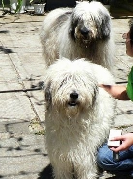 A white with gray Mioritic Sheepdog is standing on a concrete patio with a lady in a green shirt petting it. There is a white and black Sheepdog standing behind it.