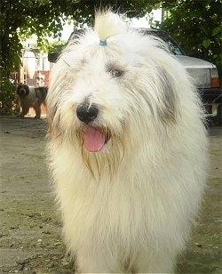 A white with gray Mioritic Sheepdog is standing outside in dirt. It has a band in its top knot showing its eyes. Its mouth is open and its tongue is out. Under the trees in the background there is another white wiht black Mioritic Sheepdog.